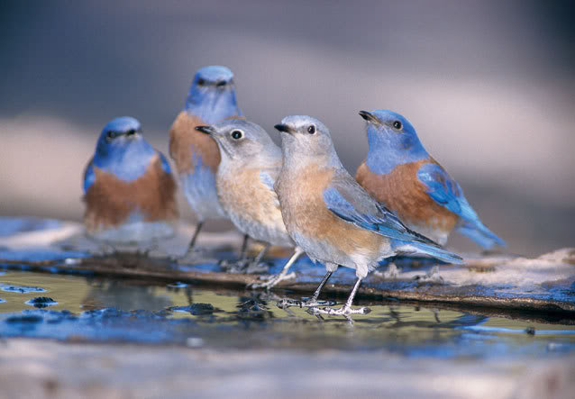 Blue Birds picture