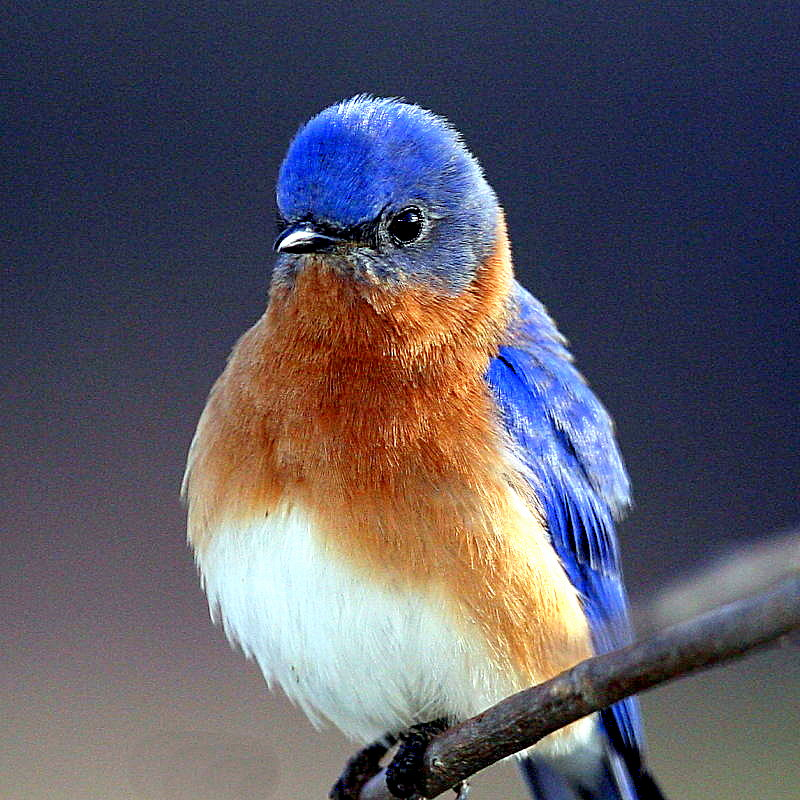Blue bird - photo#8