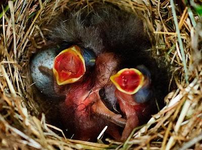 Innocent New Born Bird Babies