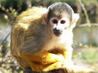 Picture of Spider Monkey Picture