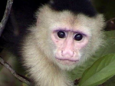 cute capuchin monkey picture