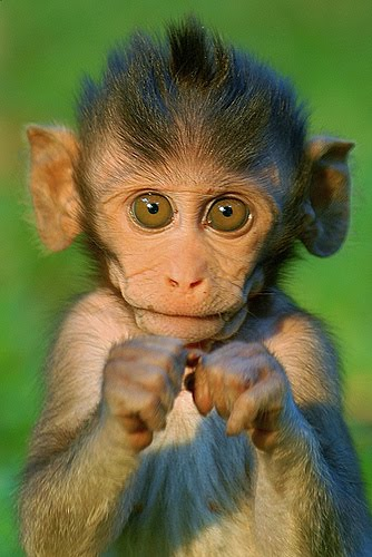 Cute baby monkey wallpapers - photo#15