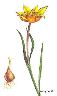 Тюльпан лесной