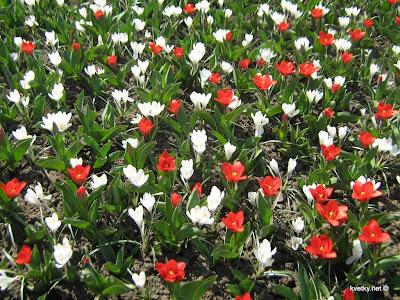 крокусы белые и тюльпаны малютки