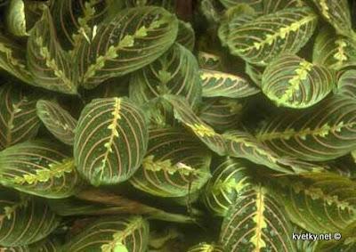 маранта Триколор Maranta leuconeura var. erythrophylla