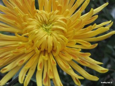 Хризантема лучевидная