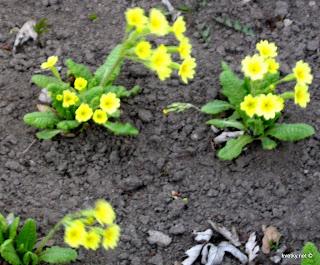 примула гибридная Primula veris x vulgaris