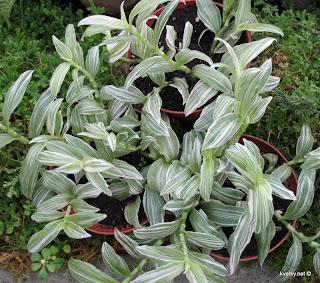 Традесканция белоцветковая f. alba variegate