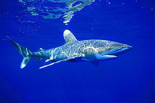 http://1.bp.blogspot.com/_NaiZRaBm2hs/TALkxL8wT3I/AAAAAAAAABA/bC2WHEyF2Bo/s1600/oceanicwhitetip2.jpg