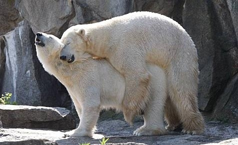 two women fucking a polar bear
