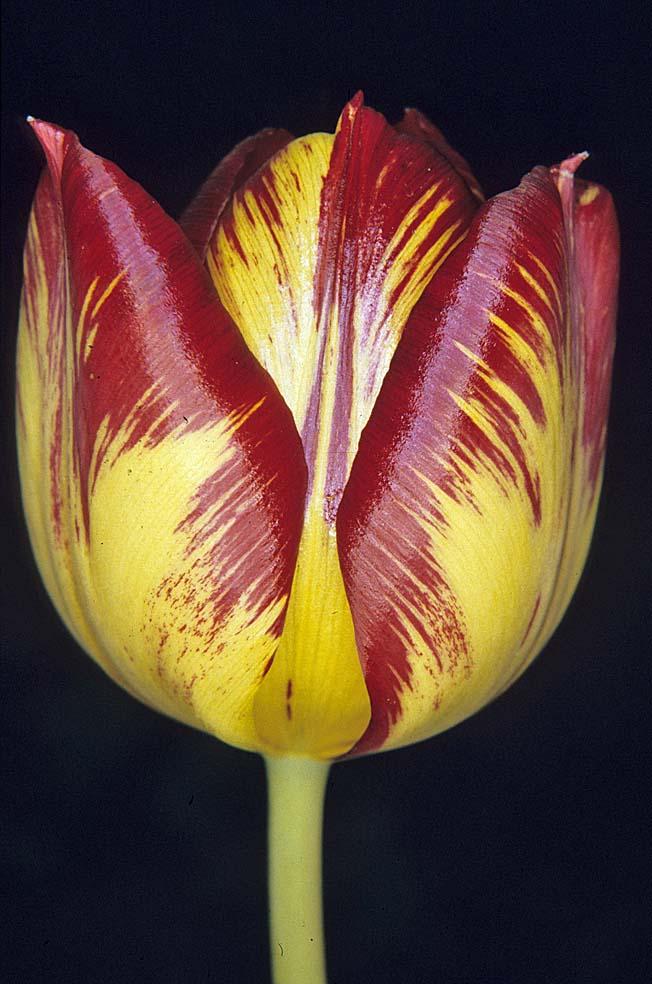 tulipa edulis bulb