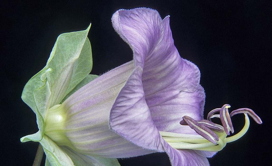 A Digital Botanic Garden Cobaea Scandens Cup And Saucer Vine