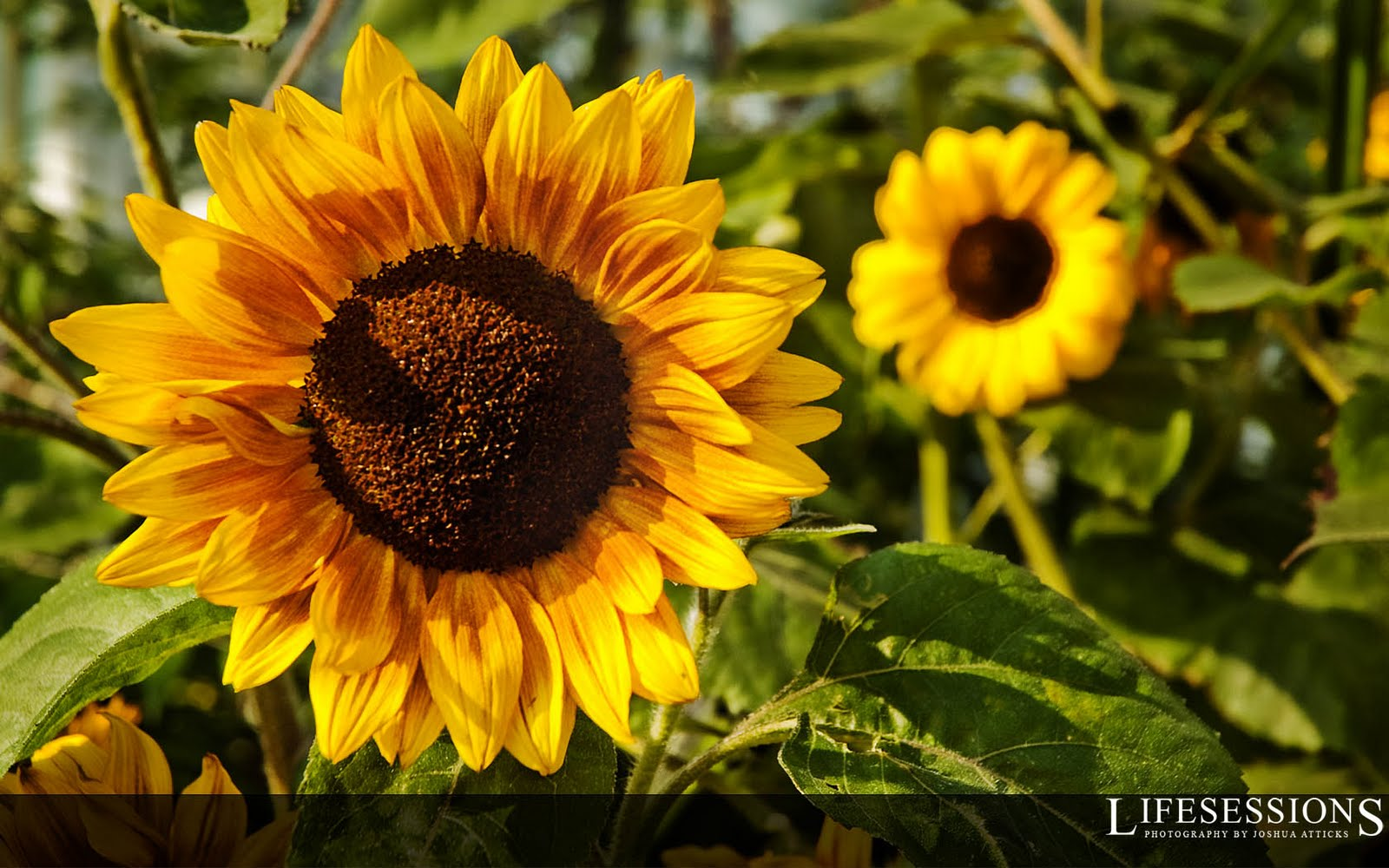 Sunflower Wallpaper With Quotes Quotesgram