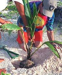 planting Palm Tree Planting Step By Step
