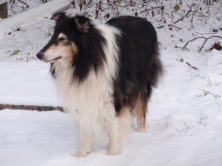 kolli koer