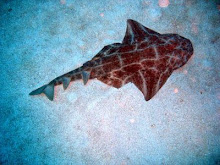 Anggle Shark