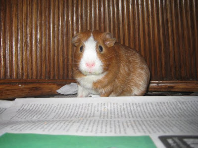 Francis the Guinea Pig