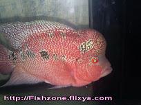 ปลาหมอสี ( พ่อพันธ์ หมูแดง )