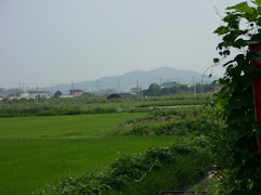 Rice fields near my apt