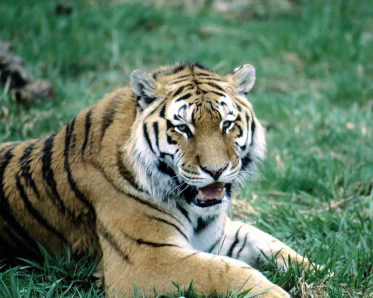 Секс с тигром фото 9 фотография