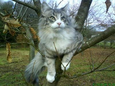 Hoksilato val de cambs gato bosque de noruega