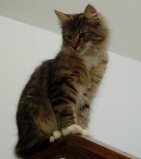 Arubi val de cambs gato bosque de noruega