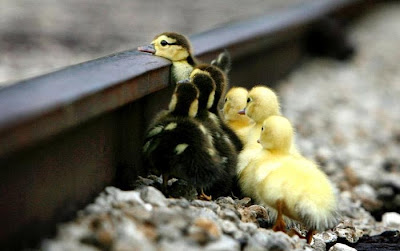 So small ducks & already tired, ready to give up