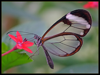 Glasswing+butterfly+20.jpg