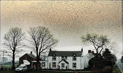 Starlings Spectacular Flocks Turns Skies Black (9) 8