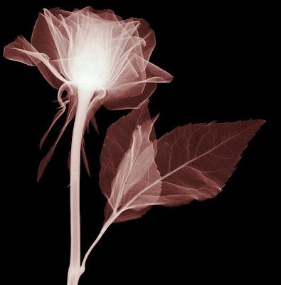 Flowers X-rays (15) 6