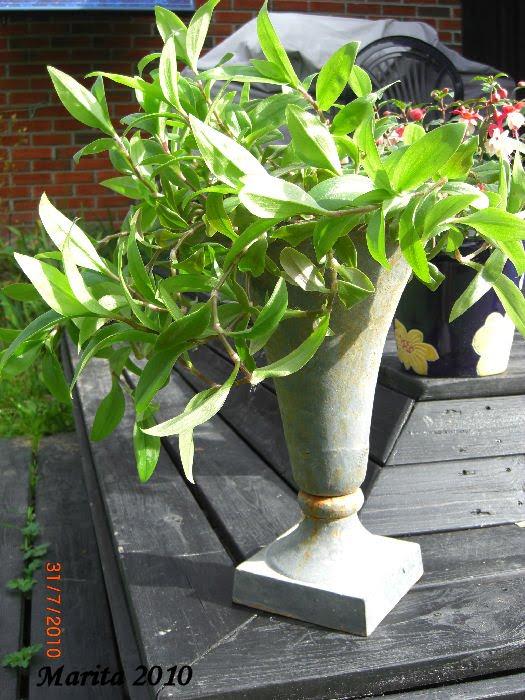 vandrende jøder plante