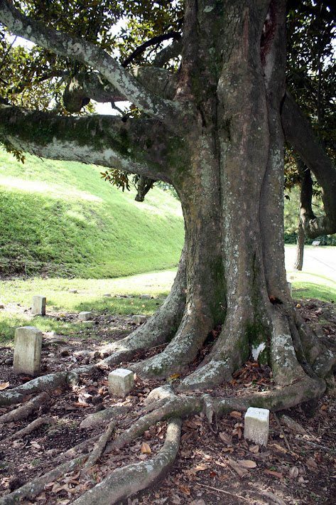 Grave Markers embraced by Magnolia Roots