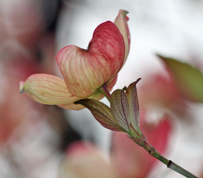 Pink Dogwood Bud