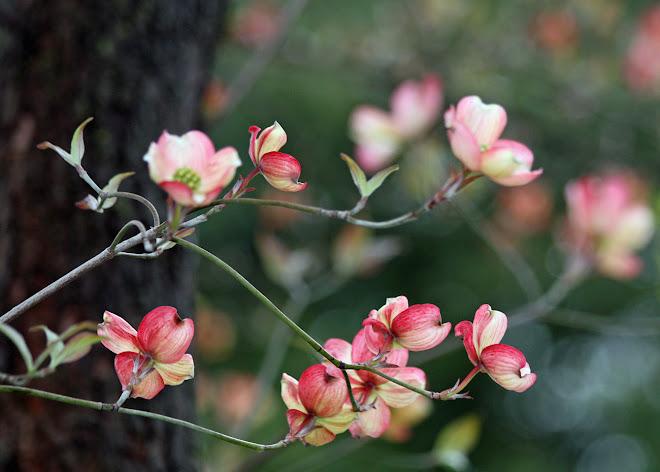 Pink Dogwood Branch, Vicksburg, Mississippi