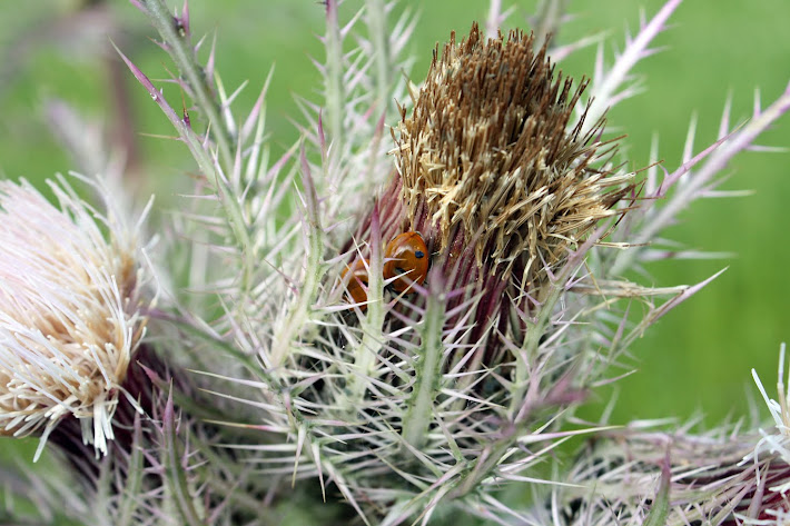 Snug as a Ladybug in a Thistle?