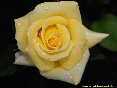 cream yellow rose flower wallpaper