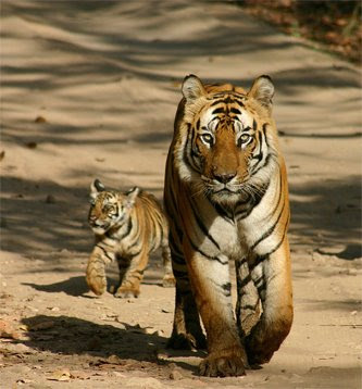 Tiger and tiger cub in Pilibhit Tiger Reserve