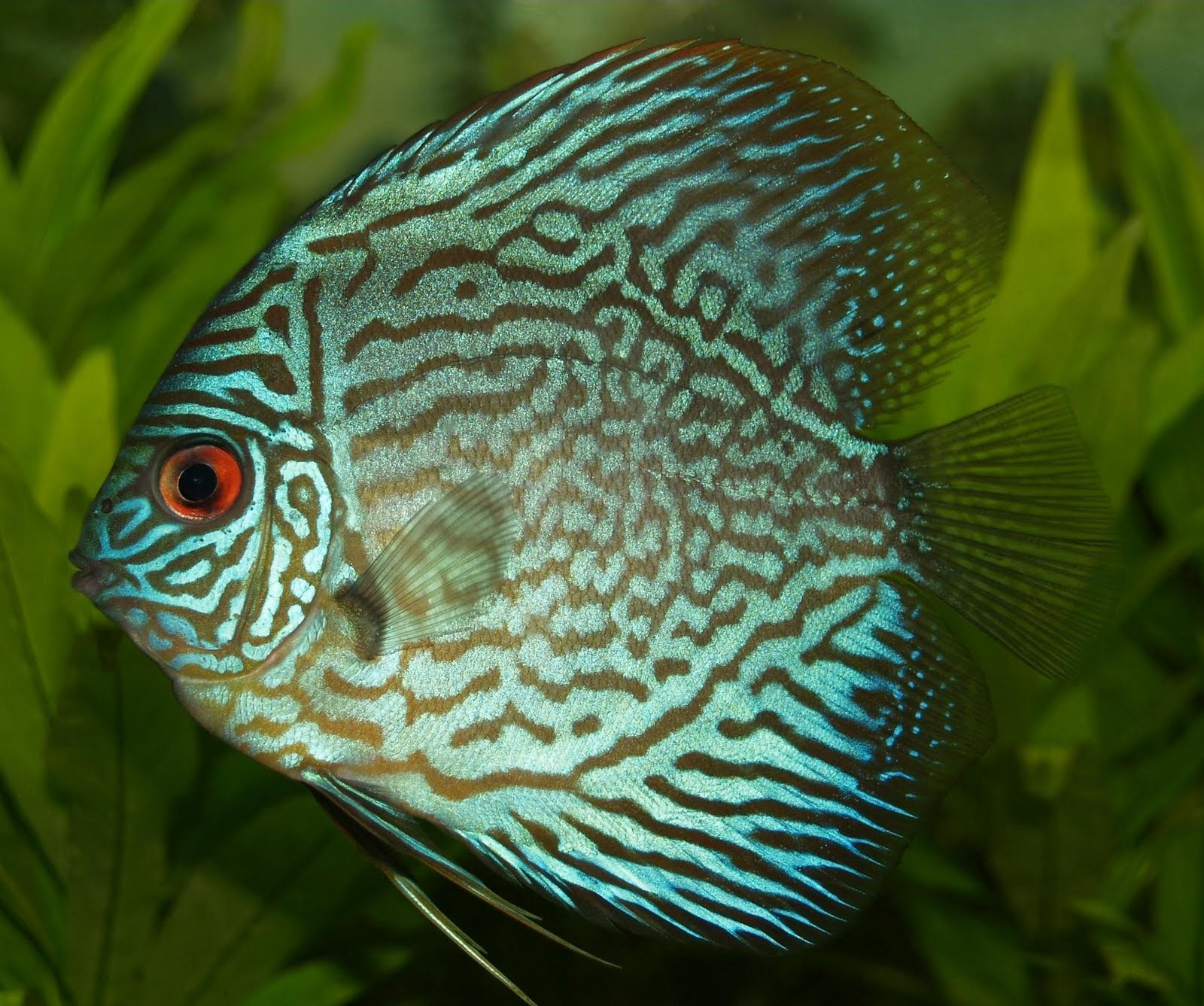 Public domain photos and images discus fish of the genus for Coolest freshwater fish