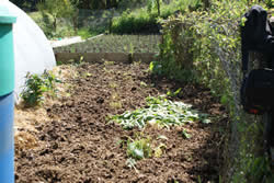 Comfrey bed after. Note the now upright barrel to the left and the bed full of onions now visible in the middle distance
