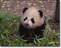baby panda baby panda baby panda baby panda