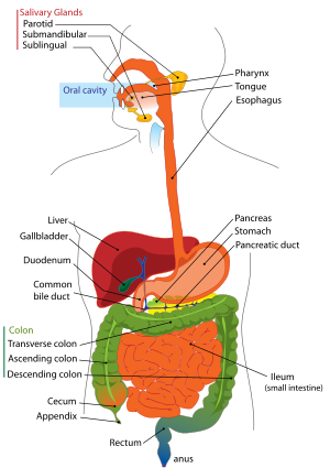 Human+digestive+system+diagram+labeled