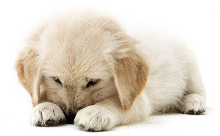 Bolehkah Umat Islam Pelihara Anjing