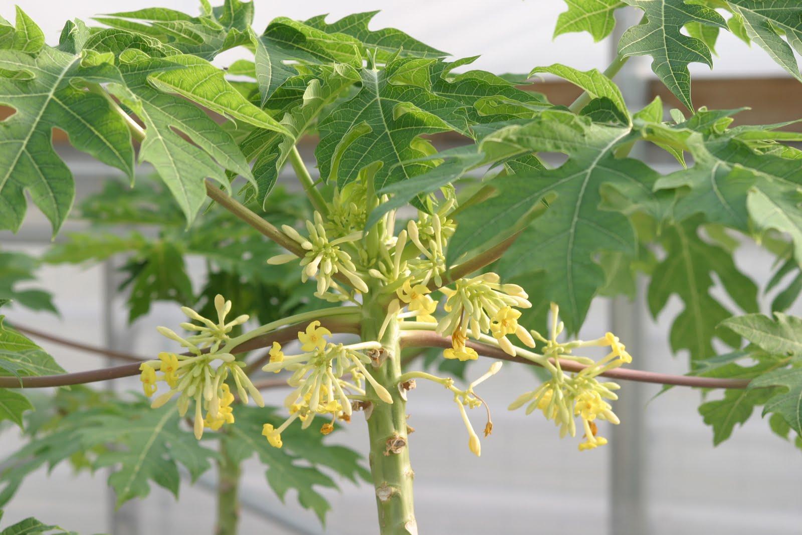 Папайя выращивание в домашних условиях из семян, посадка и уход 89