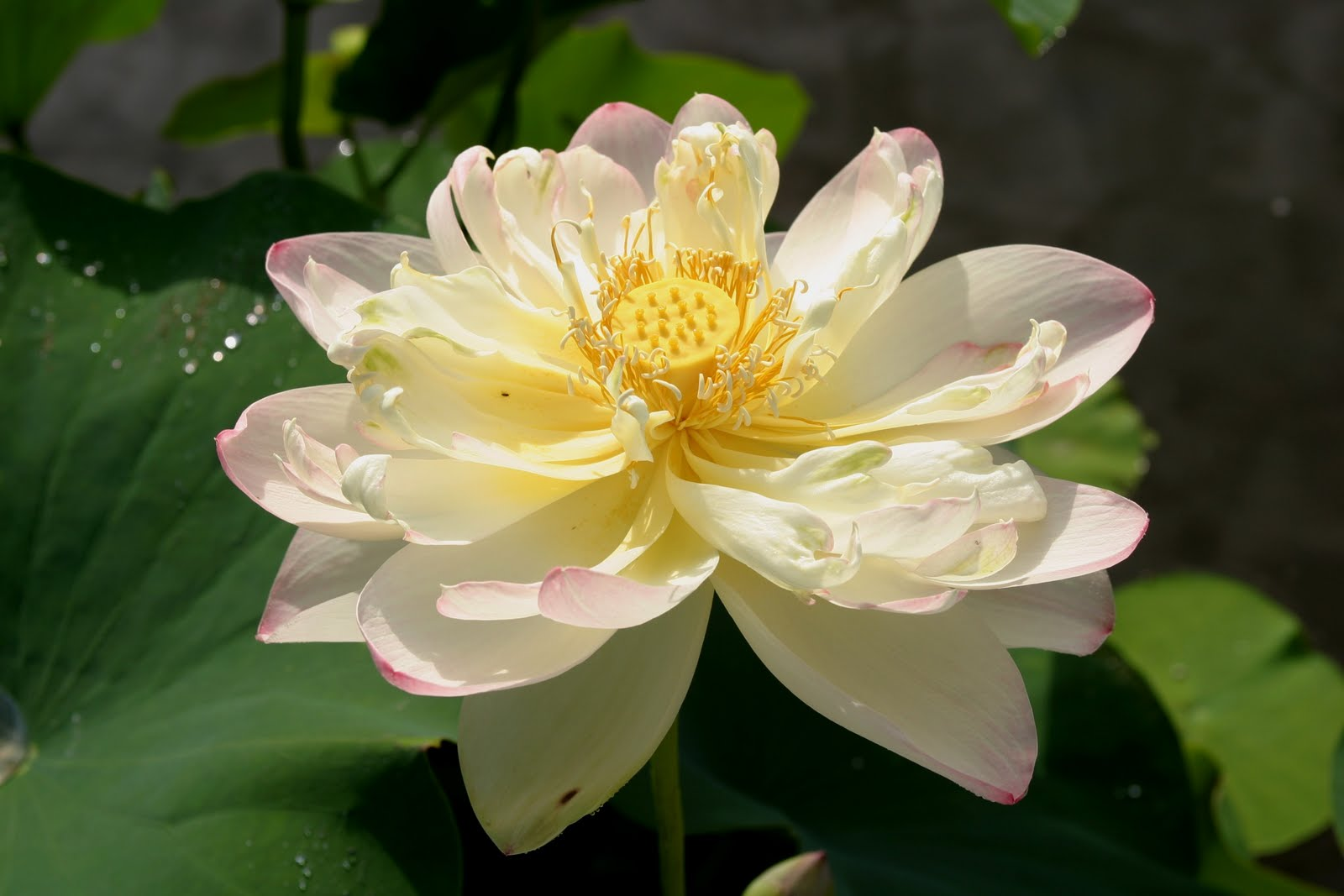 Powell Gardens Blog Midsummers Bloom From Lotus To Trees Shrubs