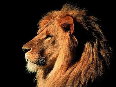 Fotos e Imagens de Leões - Foto de Leão