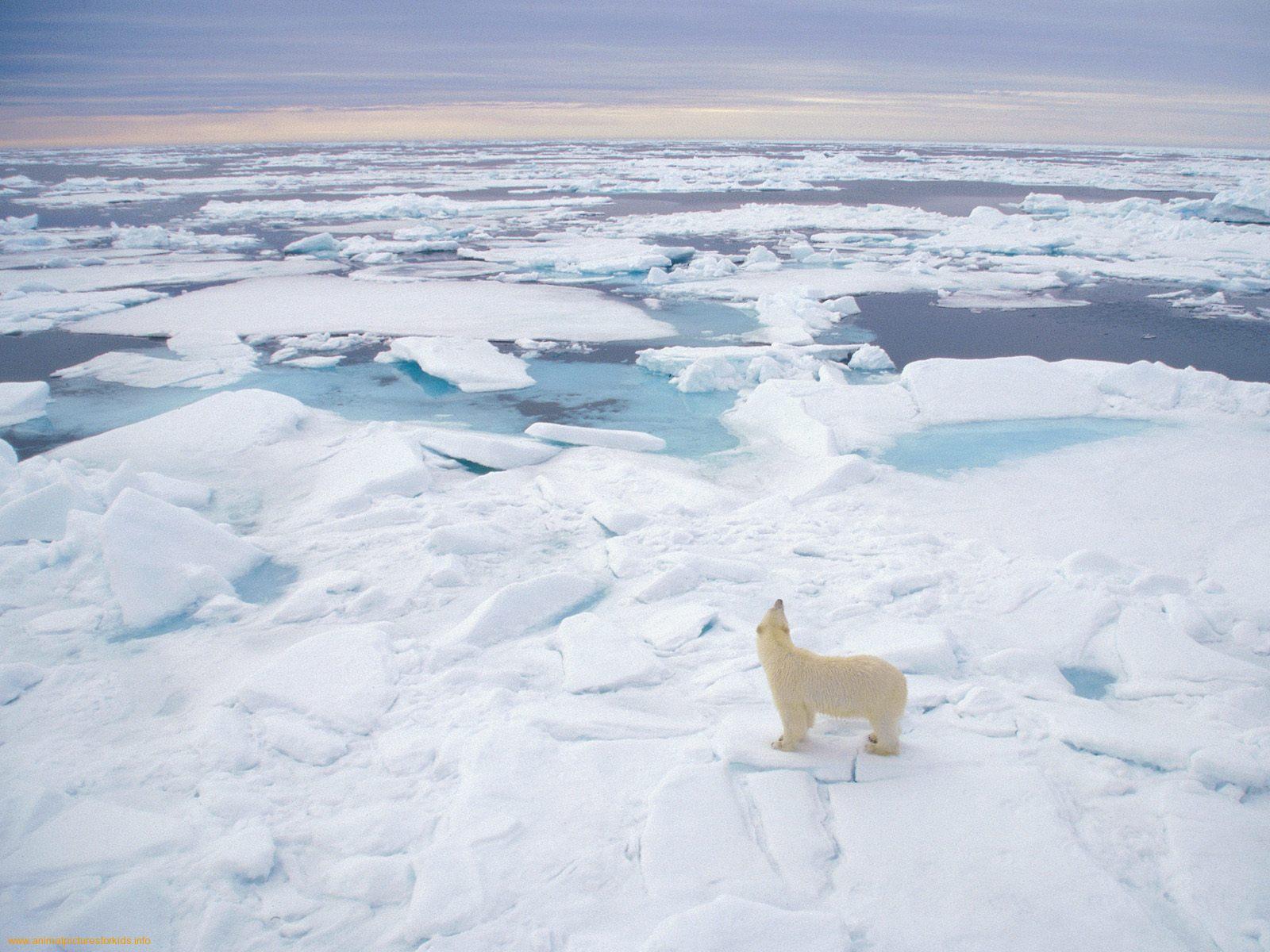 http://1.bp.blogspot.com/_O-sIn2Jn65M/TTyFYecm3RI/AAAAAAAAAWY/-OizXSDW-Io/s1600/Polar-Bear-Svalbard-Norway-1.jpeg