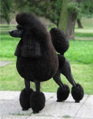 http://1.bp.blogspot.com/_O0r3iLo8CSE/SKbVAHo8VuI/AAAAAAAAAMQ/_XAHt4SpfSs/s400/poodle-dog.jpg