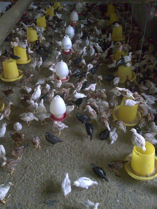 Gambar Ayam Jawa Super