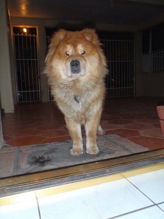 Half Dog Half Lion Dog? or tibetan mastiff.