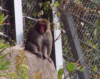 Monkeys in Japan
